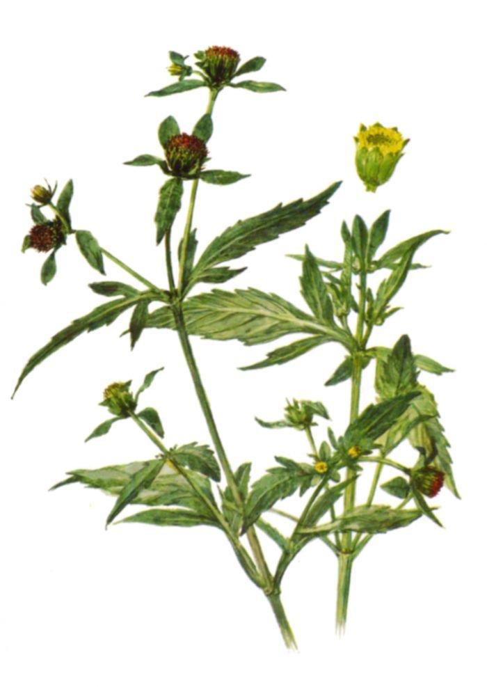 лекарственные растения от паразитов организме