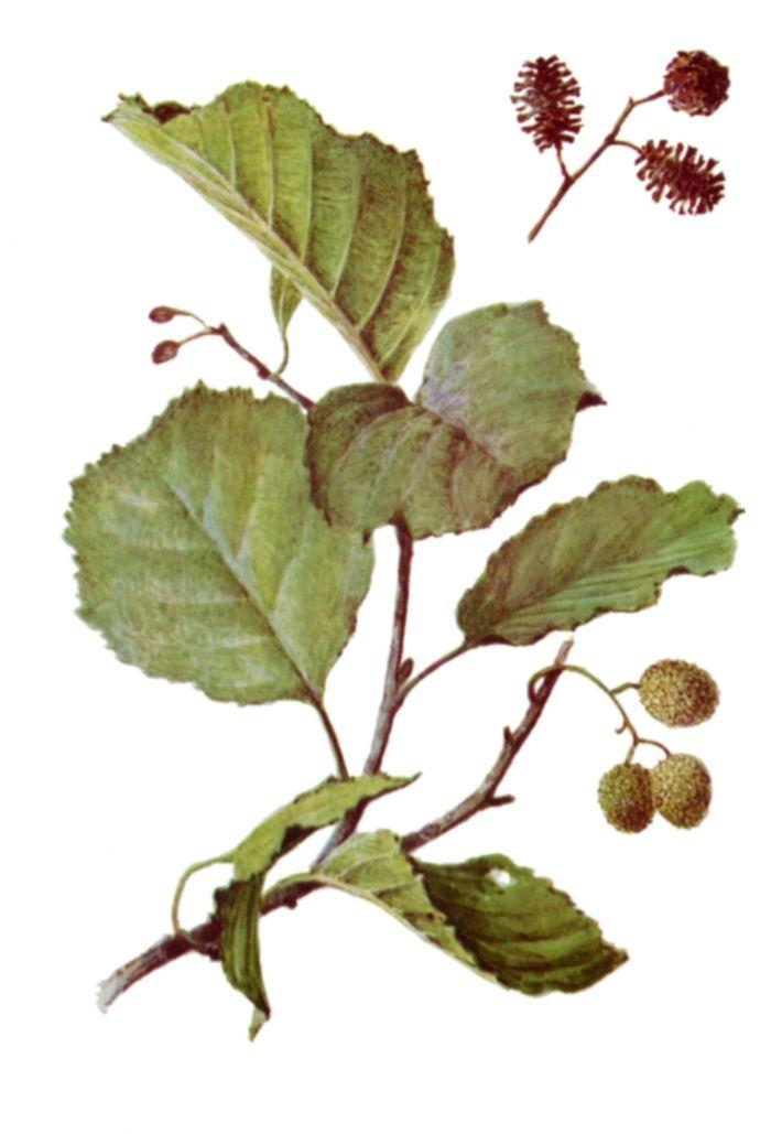 ольха  листьев